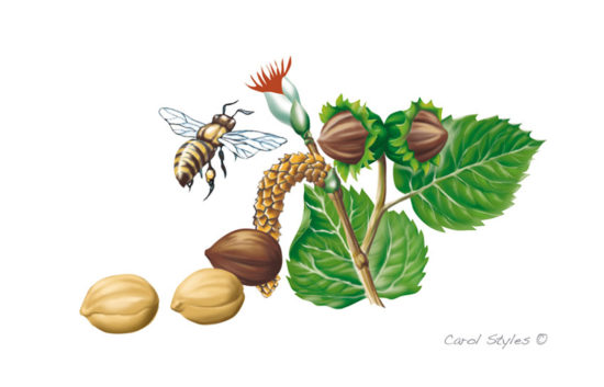 Hazelnuts and Bee