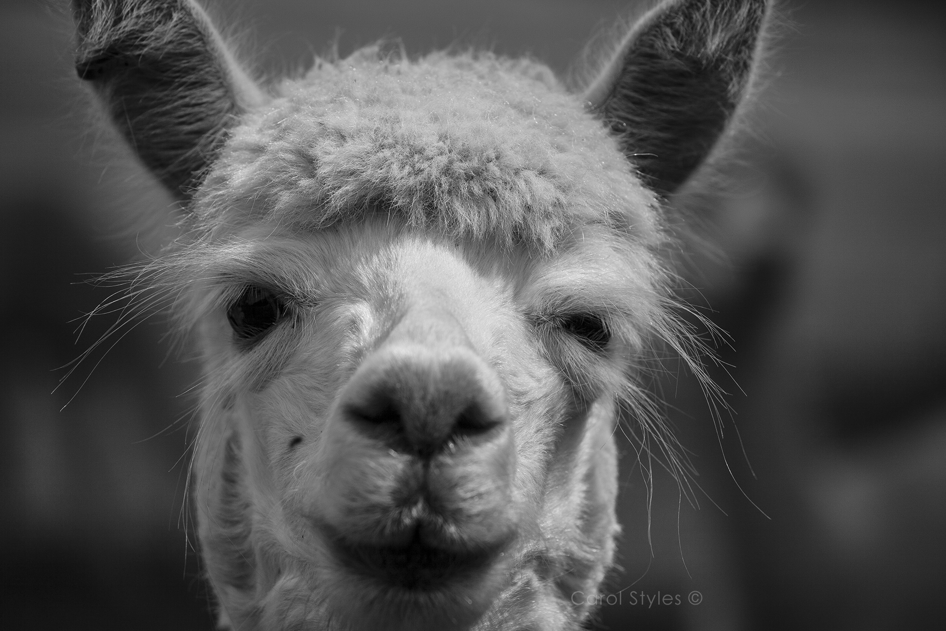 Alpaca eyebrows